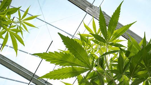 Perché legalizzare la cannabis: una analisi di costi e benefici